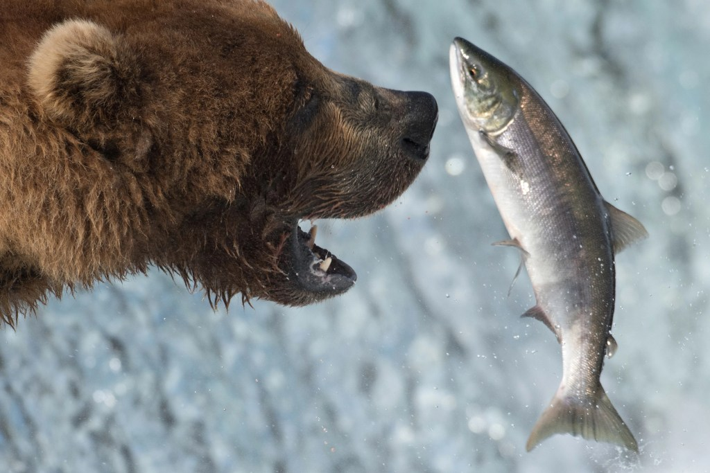 A grizzly bear about to eat a Sockeye Salmon that is jumping upstream on its way to spawn.