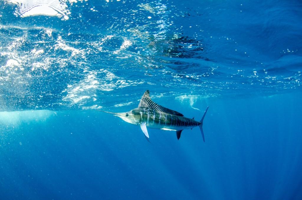Striped Marlin in Cabo