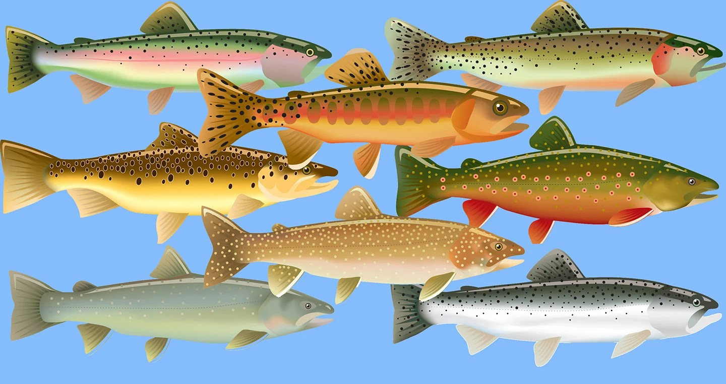 A drawing of 8 different North American Trout species on a blue background.