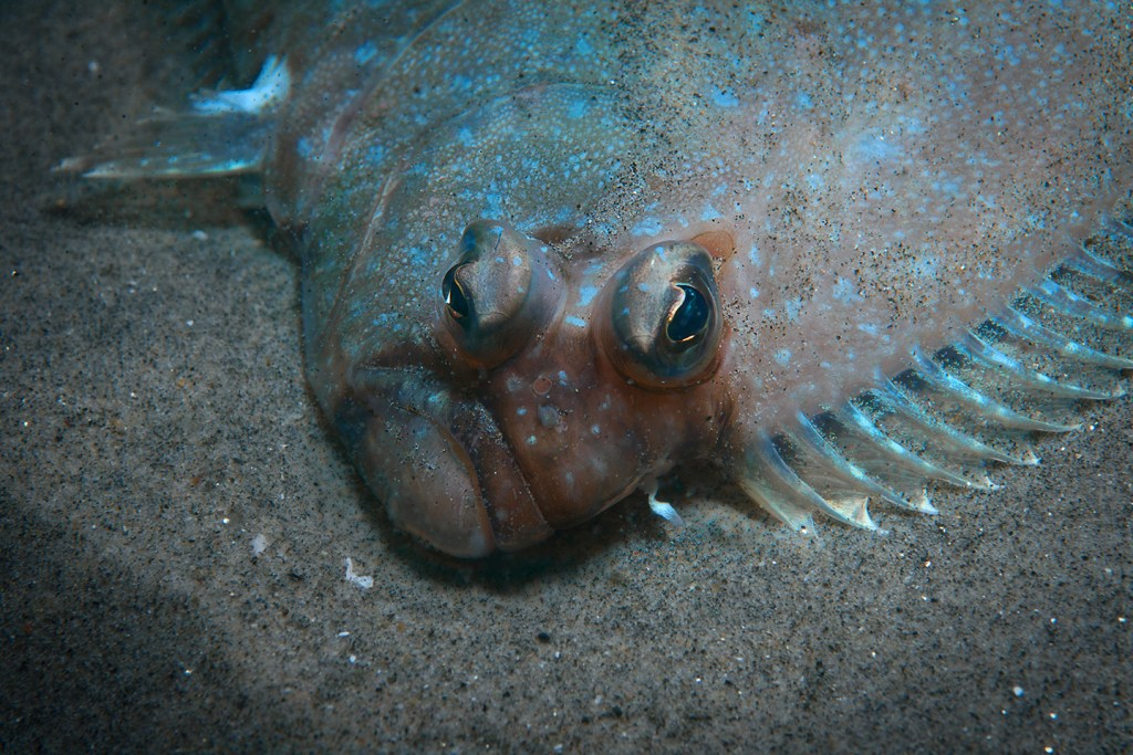 A close-up of a Flatfish face, showing two eyes on one side of its head.