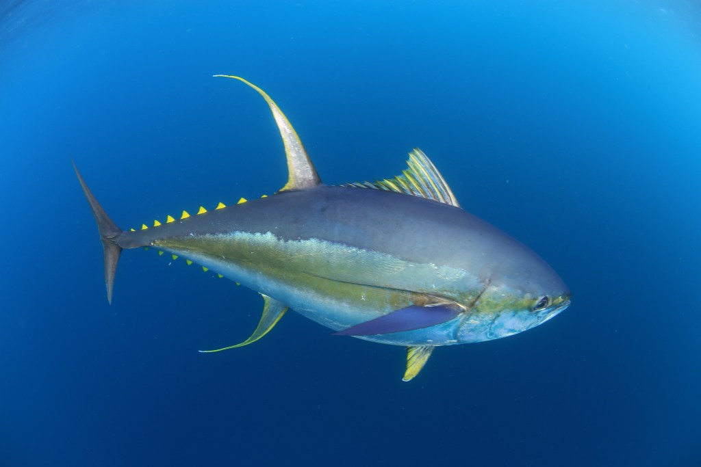 a Yellowfin tuna swiming