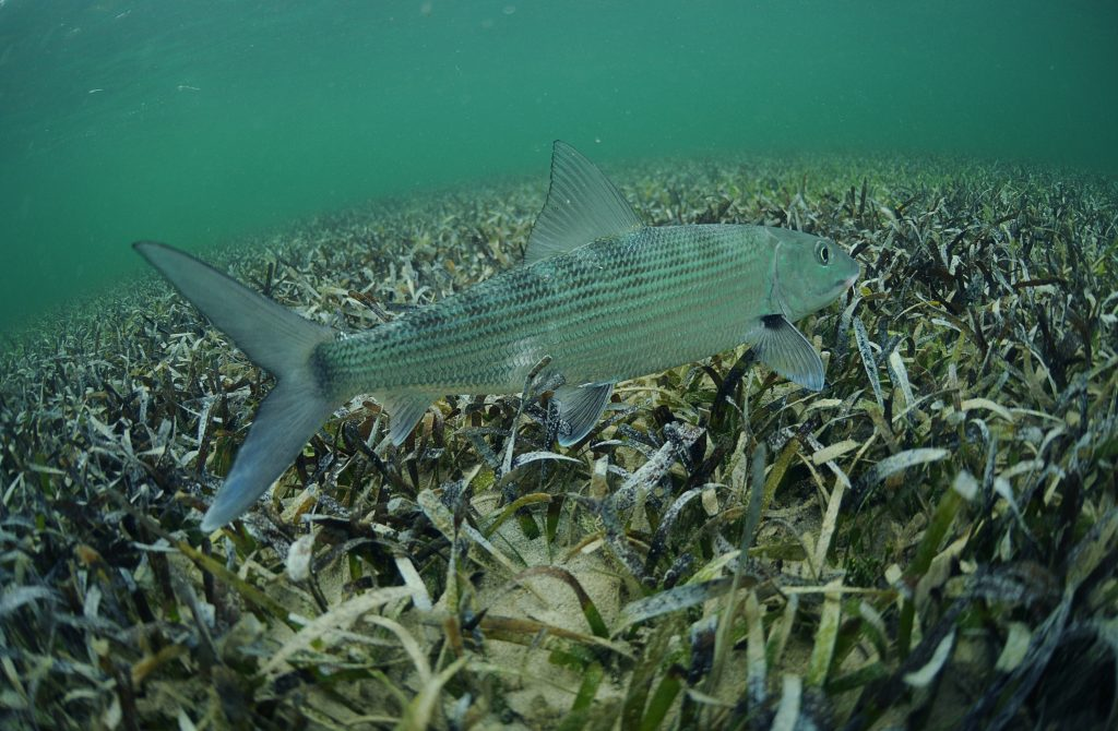 A Bonefish under water swimming over seagrass.