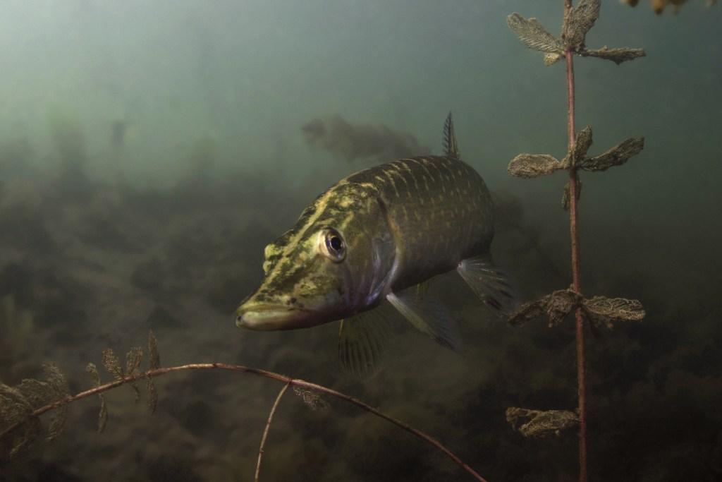 pike fish swimming near the bottom