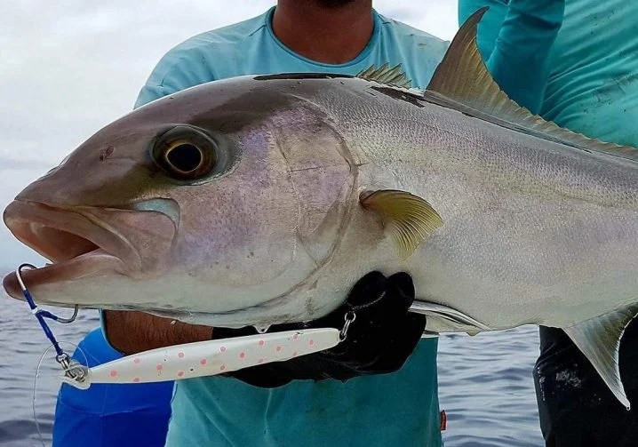 An Amberjack fish with a white and pink jigging lure hanging out of its mouth attached by an assist hook on a swivel.