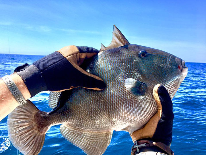 Triggerfish caught aboard a Destin party boat