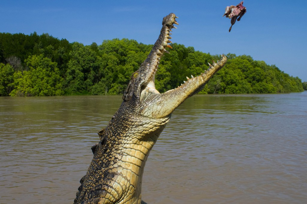 a crocodila in Kakadu National Park leaps out of the water trying to catch a bird in its flight
