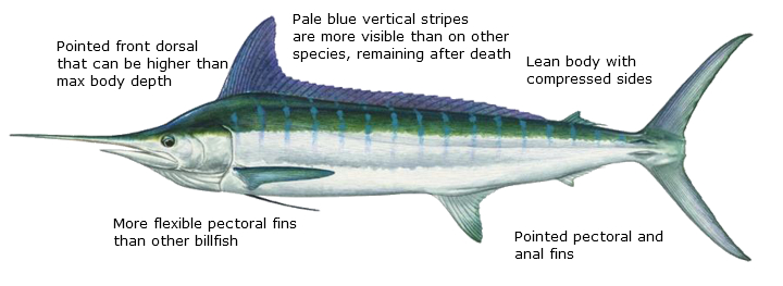 A diagram on how to recognize Striped Marlin. Writing, which is repeated in the text below the picture, describes the fish's long, pointed fins, visible blue stripes, flexible pectoral fins, and lean body shape.