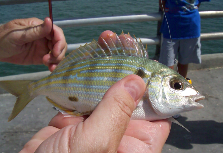 Picture of Pinfish