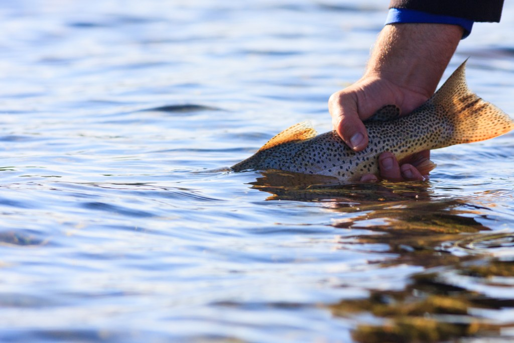 an angler's hand releasing a cutthroat trout back into the water