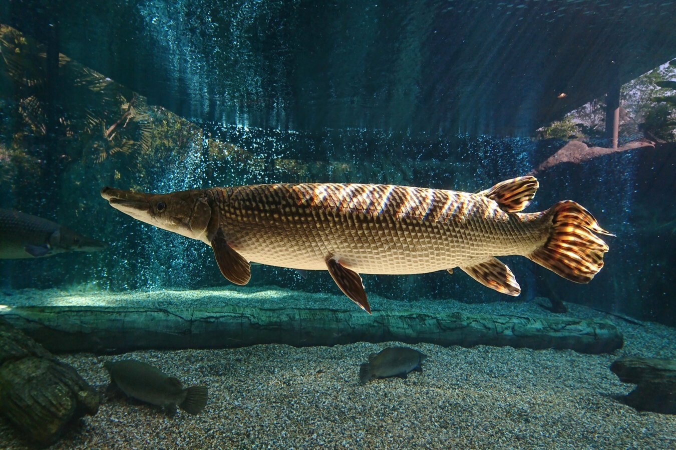 An Alligator Gar swimming in freshwater with sun rays, plants, and water bubbles in the back of the picture
