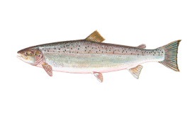 An illustration of a Salmon