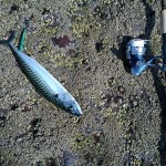 A mackerel on a rocky floor, with a shore jigging rod laid next to it