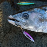 A small tuna with a jig lure hanging out of its mouth