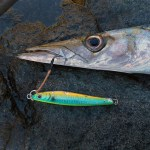 A close-up of a Barracuda with a shore jigging lure in its mouth