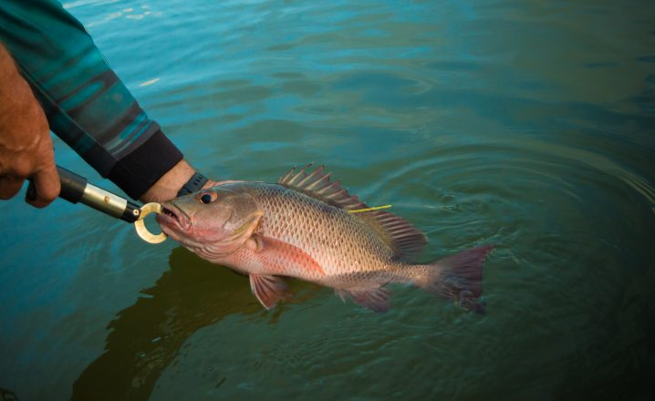 A Mangrove Snapper being held with a pair of lip grips before being safely released back into the water