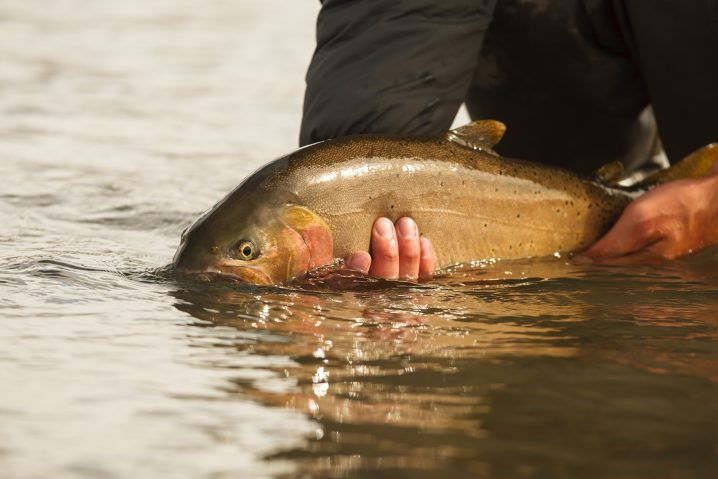 A Trout held just out of the water by an angler before being released back into the water