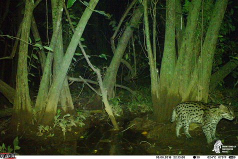 Fishing cat inside the MAS LI wetland