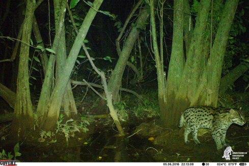 Fishing cat inside the MAS LI wetland