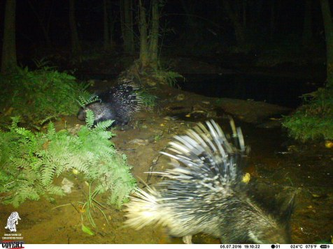 Porcupine looking for tubers