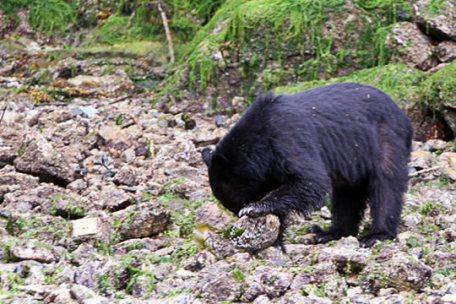 Black Bear on the Beach 04