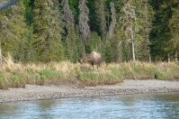 Moose beginning to cross the Kasilof during the commute hour.