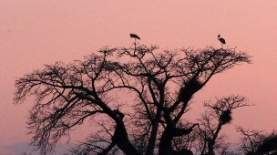 Storks on the baobab