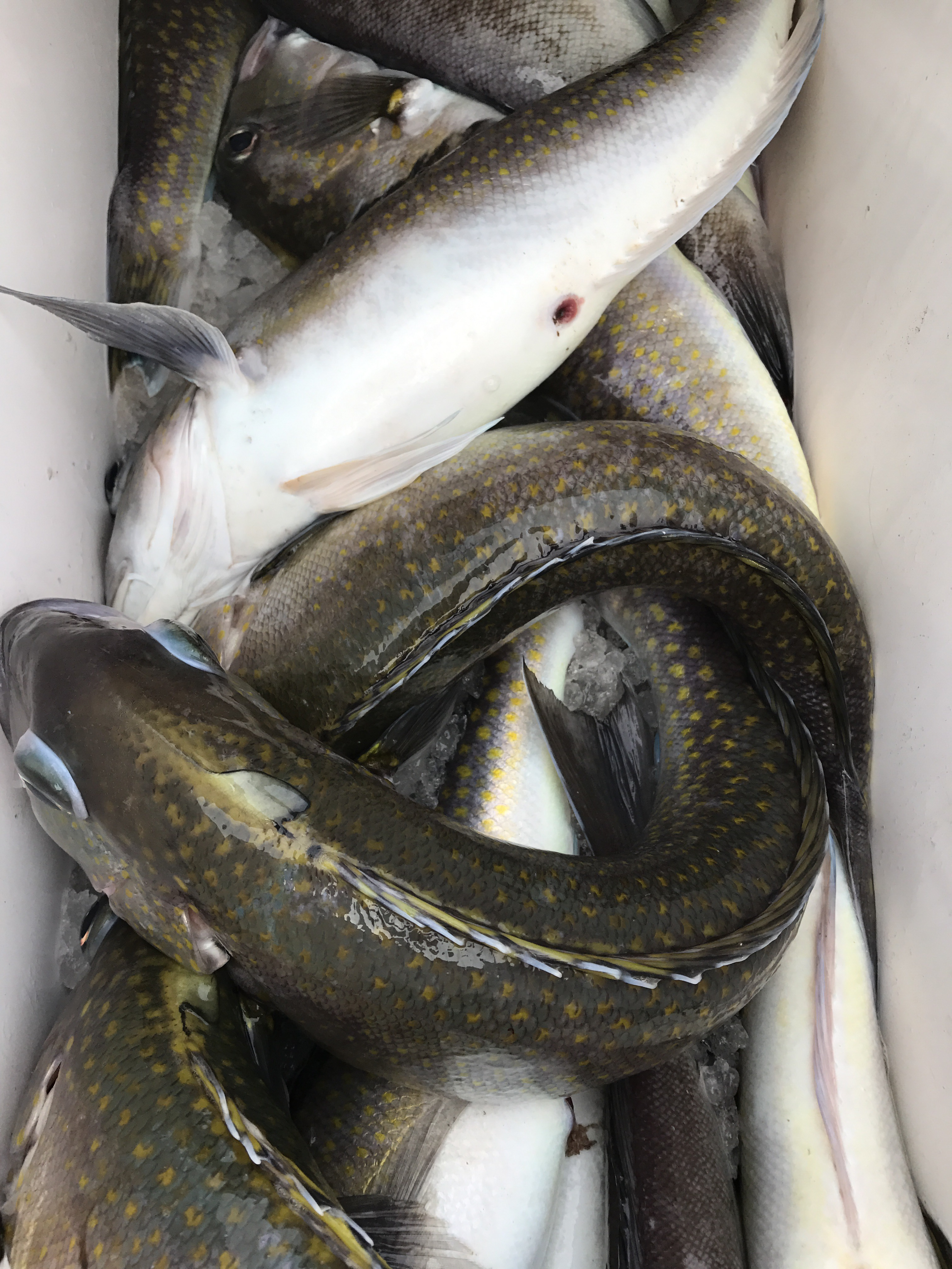We have in stock frozen salted minnows year round - Dan Dipasquale