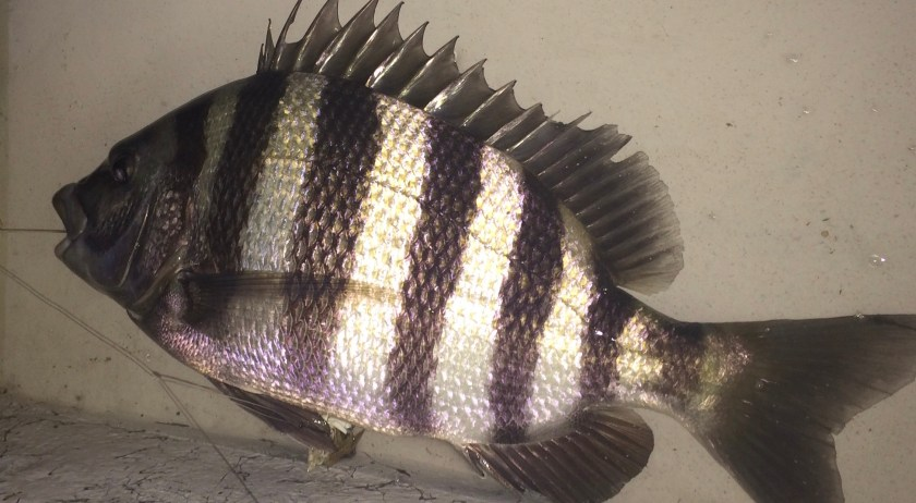 Summertime Sheepshead Are In The Local Waters!