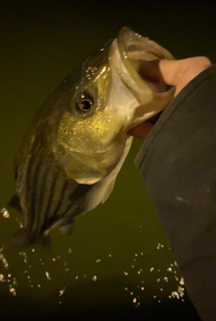 At night striped bass hunt the shadow lines for easy prey. This striped bass was fooled by Grey Coleston who's a team member at Fish Heads.