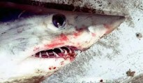 Mako Shark - Isurus oxyrinchus. The teeth are designed to seize and hold fast swimming fish.
