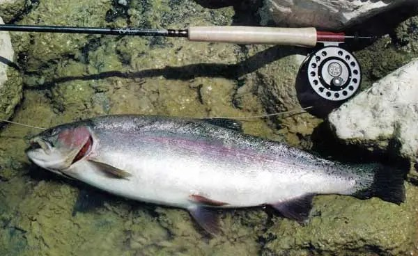This pretty 4 lb rainbow trout was taken on a Caddis immitation. Fly fishing.
