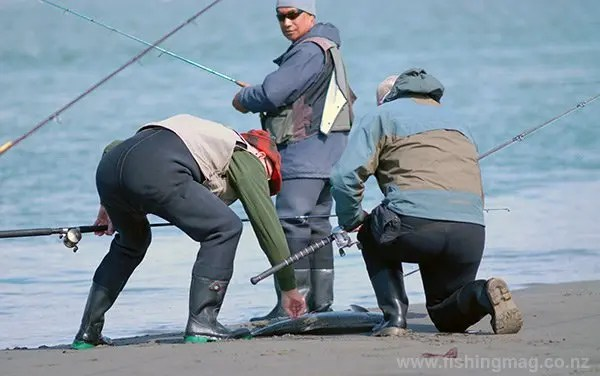 This salmon has just been landed at the mouth of the Waimakariri River.