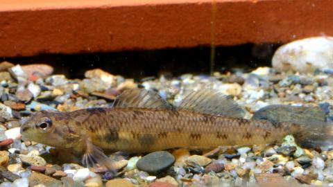 USFWS Releases Recovery Plan for Endangered Southeastern Fish