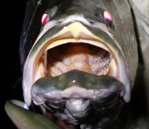 ปากปลากะพง