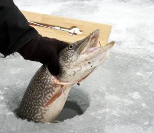 ปลาไพท์