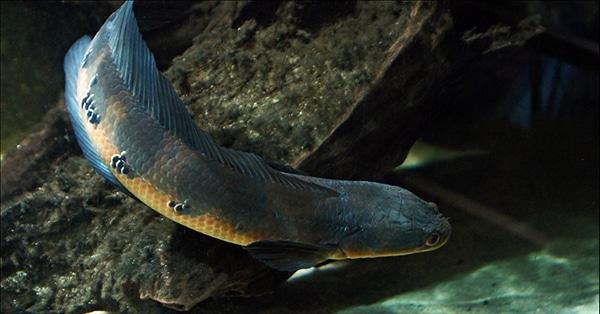 ปลาช่อนข้าหลวง