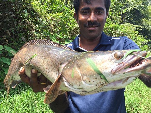 ปลาชะโดอินเดีย