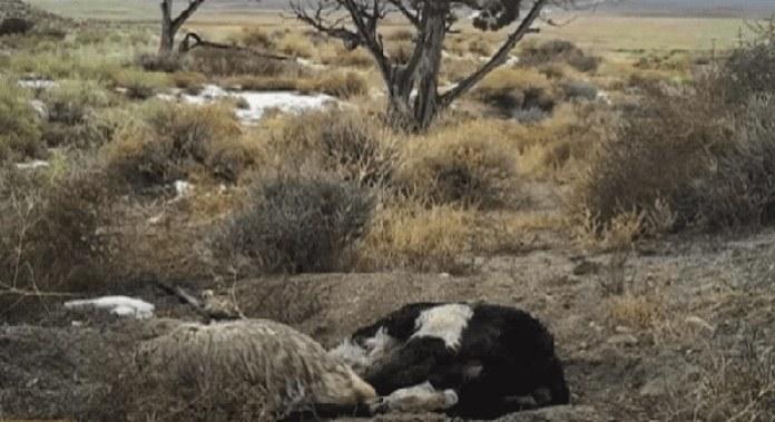 ซากวัวที่สัตว์อื่นลากมาทิ้งไว้
