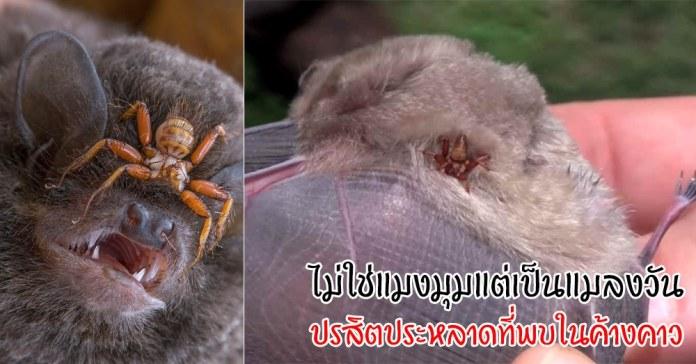 แมลงวันค้างคาว