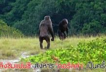 ลิงชิมแปนซี