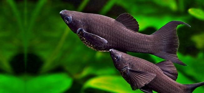 Black Molly Care Guide (Diet, Tank & Breeding) | Fishkeeping Advice