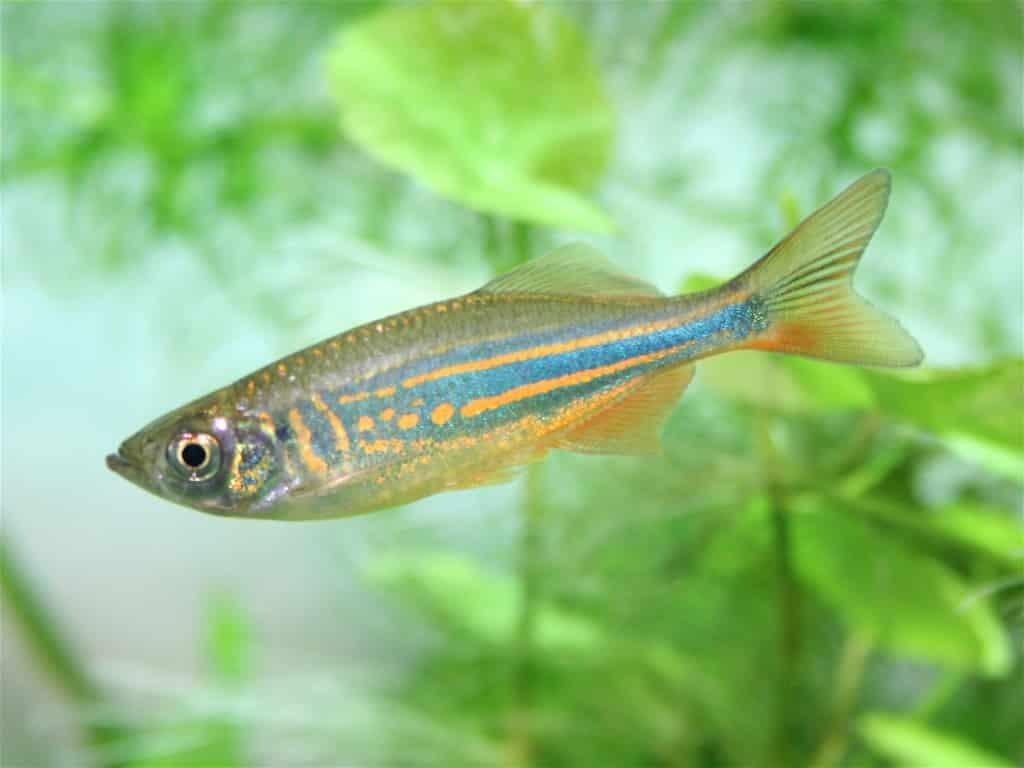 danio fish