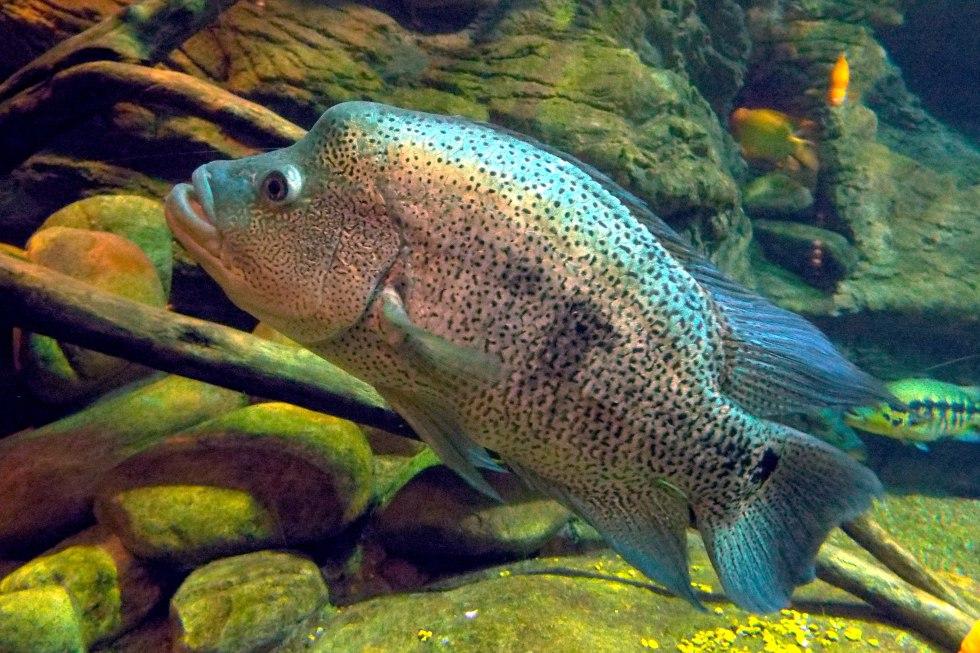 3240px-Parachromis_dovii_guapote