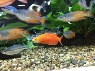 Red rainbowfish, Glossolepis incisus, line bred variant with red eyes Copyright Fishkeeping News Limited