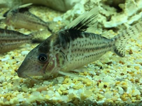 Corydoras Copyright Fishkeeping News Limited