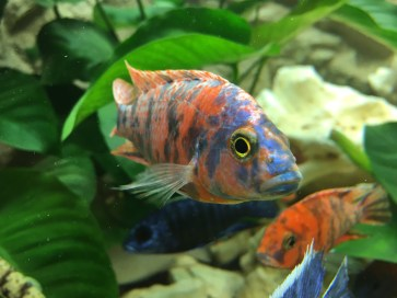 Calico aulonocara Copyright Fishkeeping News Limited