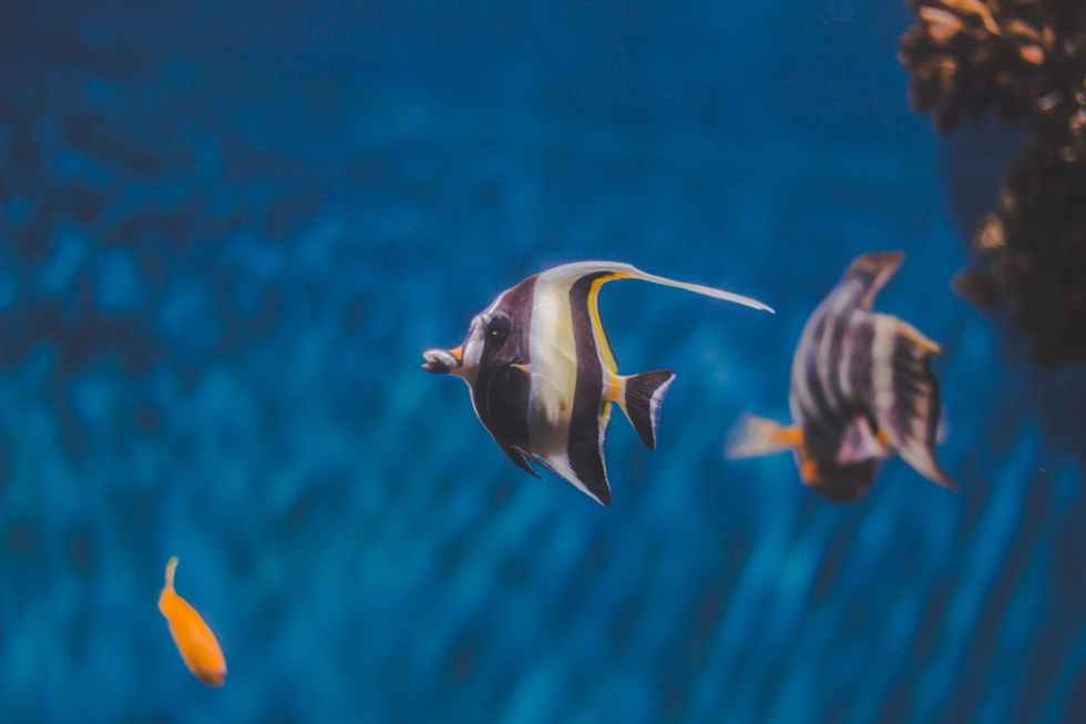 close up photo of angelfish