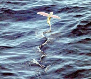 海面スレスレを数百メートルも滑空するトビウオは、夏に旨い青魚