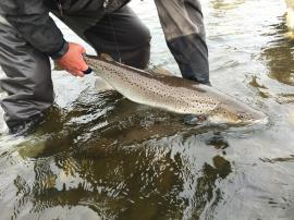 returning a double figure Sea Trout at Birgham