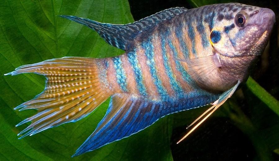 Macropodusoperacularis-paradisefish-Aquasaur_zpsfb783c49
